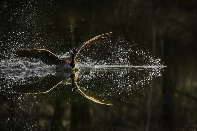 goose splashdown by bradnel - Lakes And Reflections Photo Contest