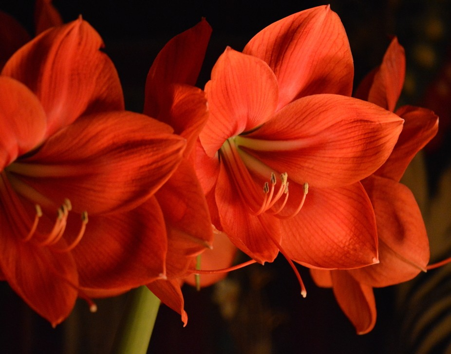 This amaryllis is just so awesome...one bulb produced 9 blossoms last year and 8 this year, plus ...