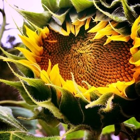 flower of the sun in summer  #flower #sunflower #yellow #nature #blooms #