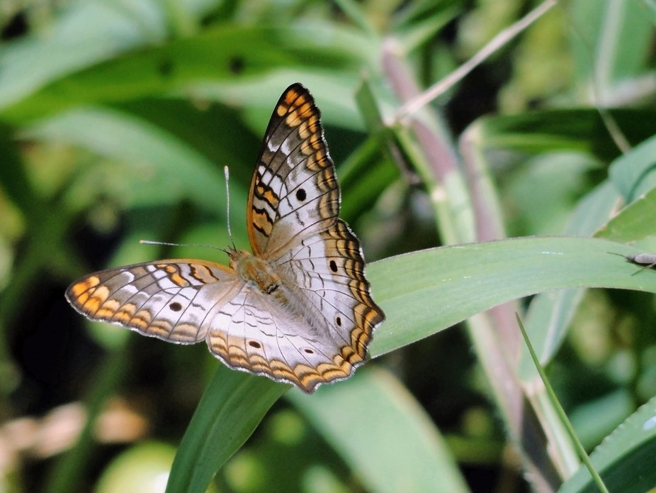 A common butterfly to Florida. Can be found in near water, open lands and fields.
