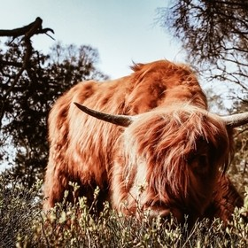 I found this scottish highlander in an national park in the Netherlands. In the picture you see a younger cow...