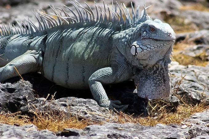 Rock Iguana in Bonaire, Dutch Antilles National Park
