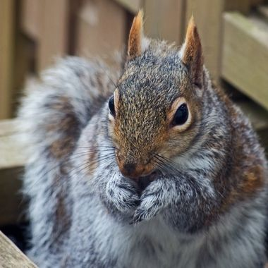 A close-up of a grey squirrel eating a sunflower seed.