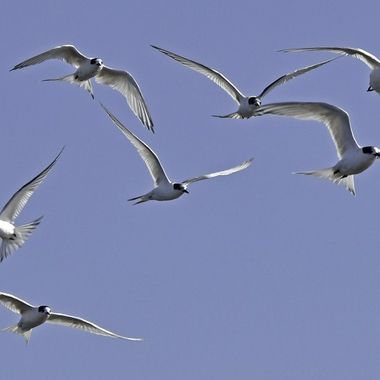 Mob of White fronted terns