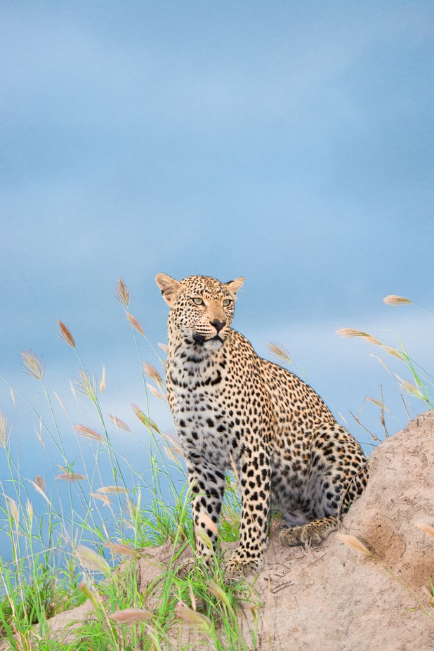 Leopard by Cortez48 - Explore Africa Photo Contest