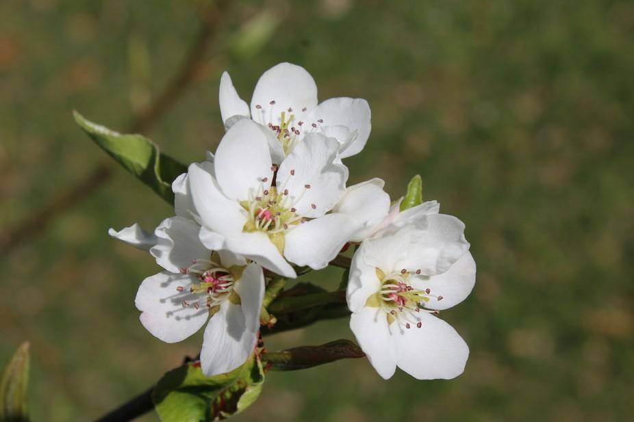 Dwarf Pear Tree Blossom
