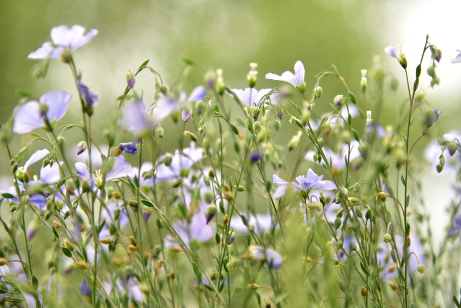 Low capture of some Flax flowers. The camera was positioned almost on the ground, among the flowe...