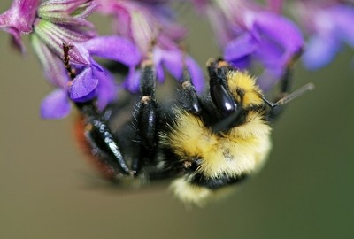 Macro shot of a Red Bumble Bee