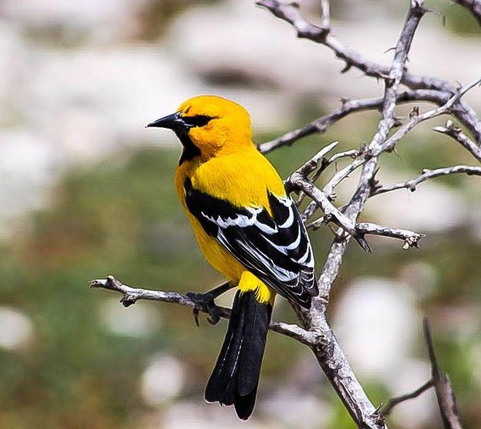 Yellow bird in Bonaire (1 of 1)