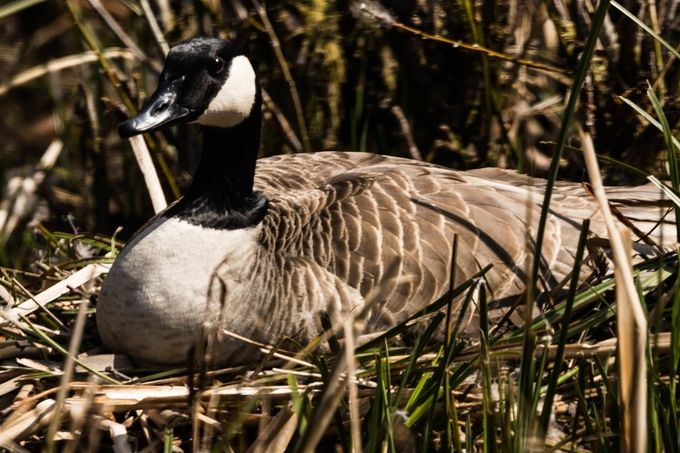 Wary mamma goose protecting her eggs