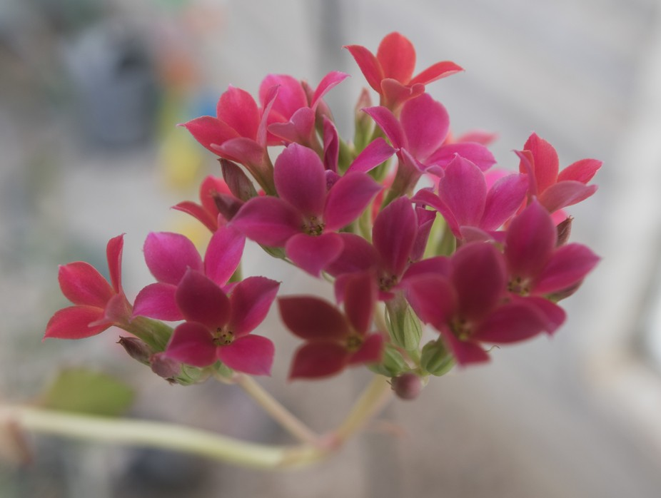 A pink little flower bunch in the desert spring time.
