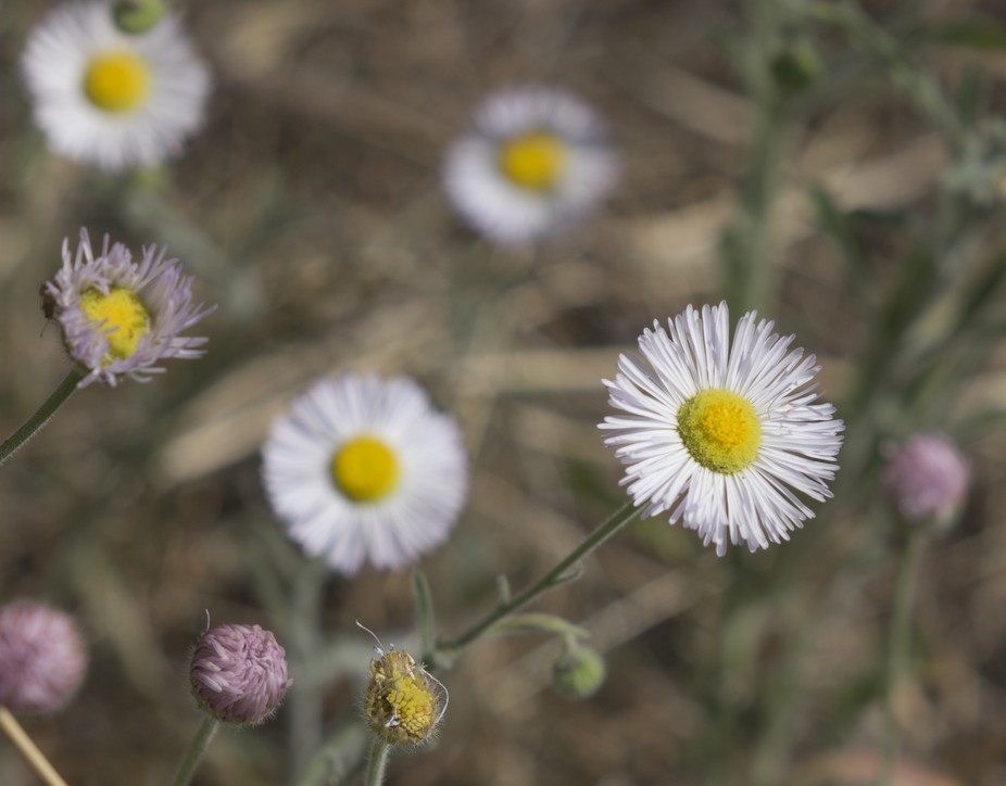 The three phases of life of a desert wildflower