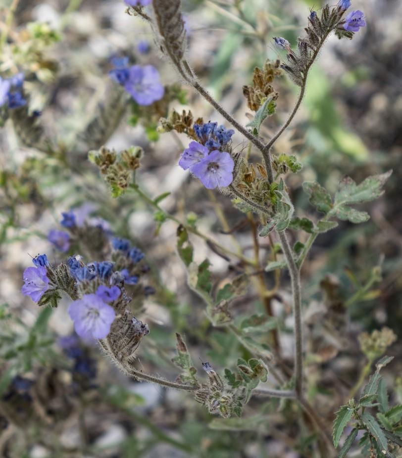 Fiesta flower - found in the spring throughout the Sonoran desert
