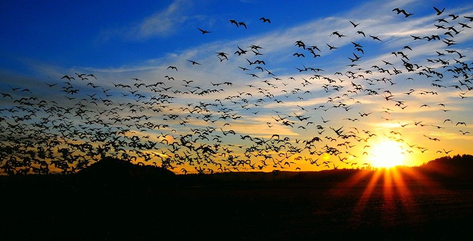 I finally found the elusive Snow Geese in February in the thousands and caught them just as the s...