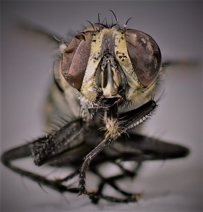frozen fly 2 - collapsed eye