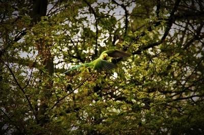Rose-ringed parakeet taking off!