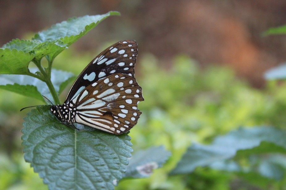 One such sunday morning out with my camera... hunting this butterflies for click
