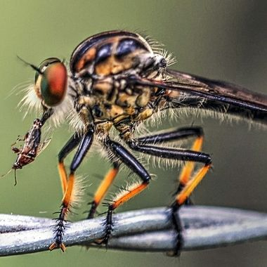 Robber Fly - Catch Of The Day