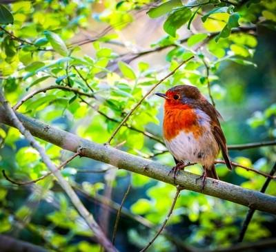 Little Red Robin