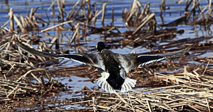 Todays wildlife shoot.  Mallard Take off
