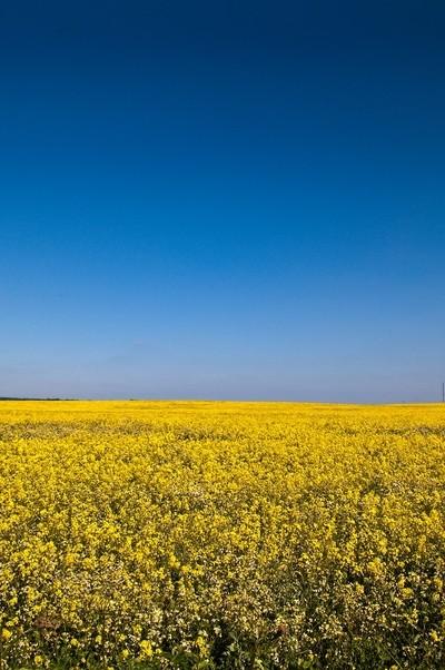 rapeseed horizon