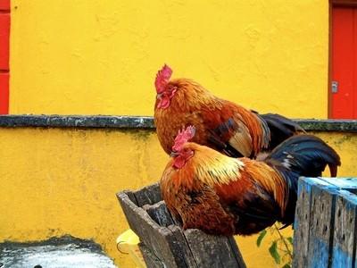 Inis Mor Hens