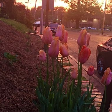 Tulips against the sunset