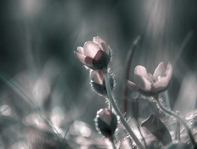 dreamy by Teine - Beautiful Flowers Photo Contest