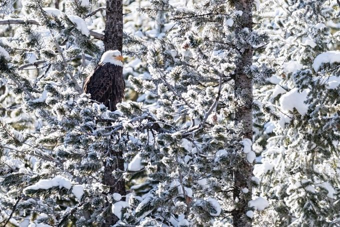 Bald Eagle hiding in the trees by brianbaril - Just Eagles Photo Contest