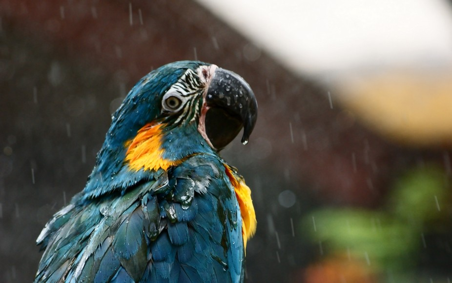 Droplets roll down a parrot as a light drizzle turns to rain.