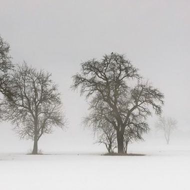 Trees covered in fog