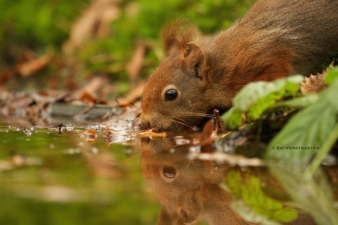Close encounter with a squirrel by Evi_Verstraeten - Animals And Water Photo Contest