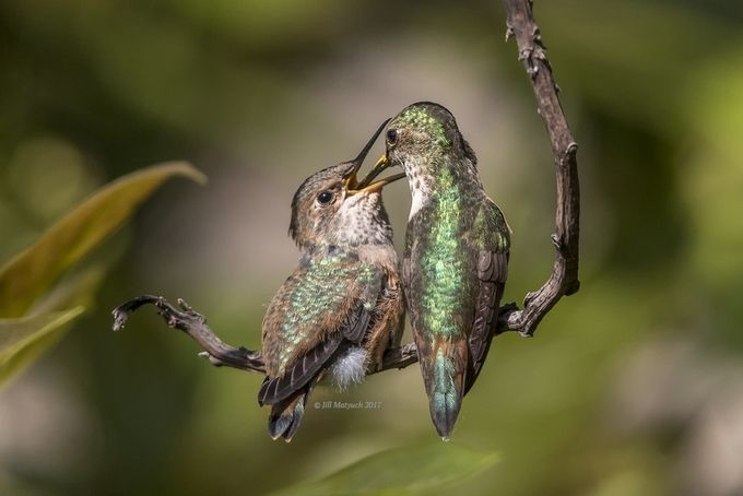 Mama Delivers by JillMa2sh21 - Hummingbirds Photo Contest