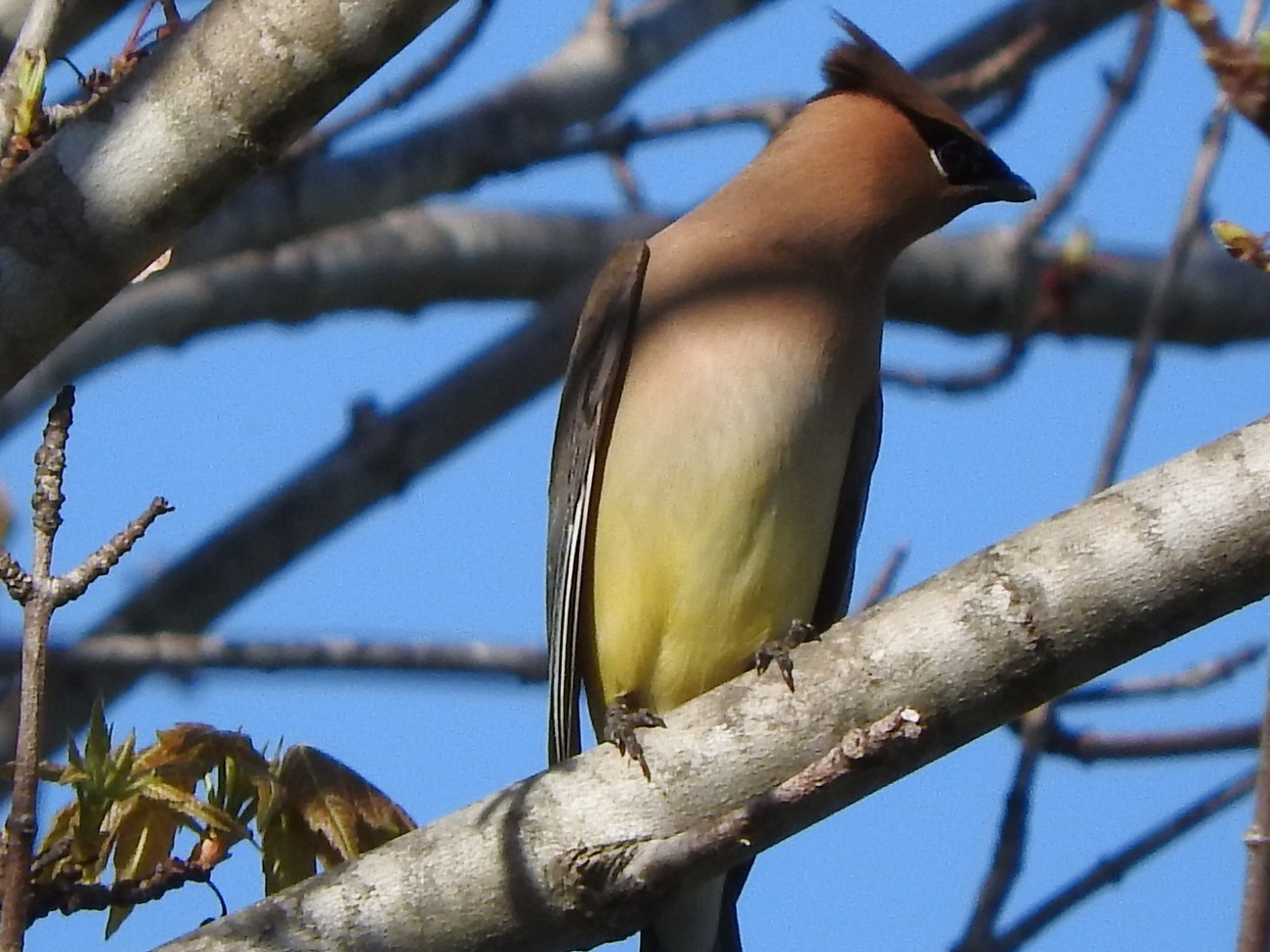 Sitting outside after dinner ( with camera of course) when I got a surprise visit from a small flock of Cedar Waxwings. Before this Spring I had only seen them once in my yard, This is their third visit this Spring. Feeling very blessed and happy