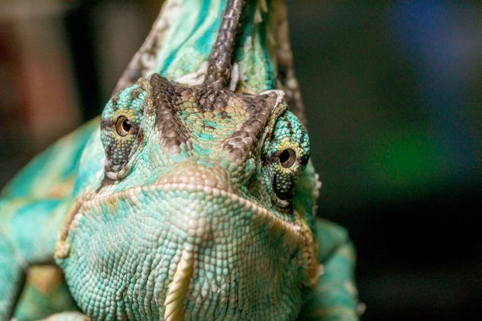Cranky Chameleon  by donaldginn - Reptiles Photo Contest