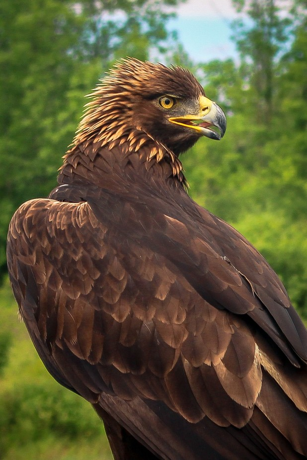 Golden Eagle by sabrinatheroux - Just Eagles Photo Contest