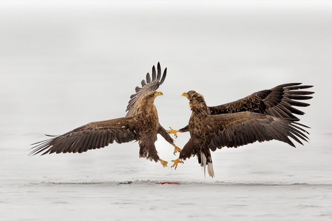fighting by giovannifrescura - Just Eagles Photo Contest