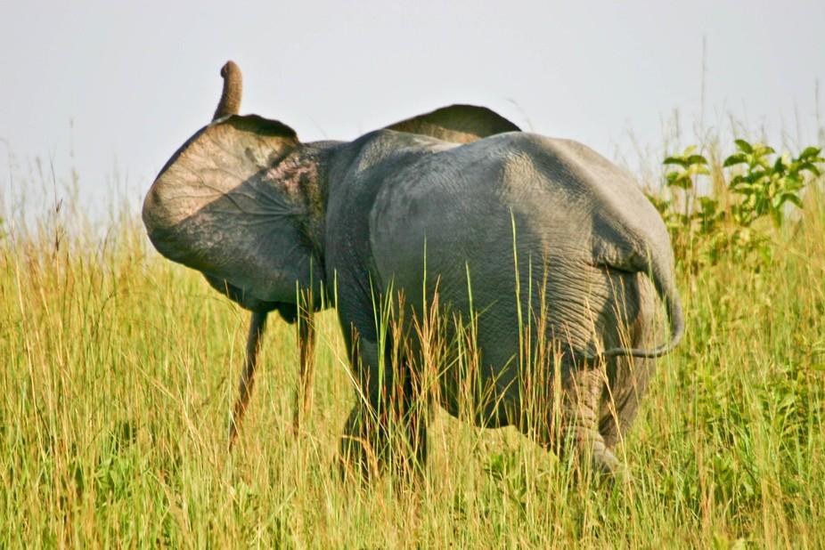 Africa - Forest Elephant near Lope- Gabon0001 (2)-2