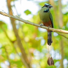 Turquoise-Browed Motmot by the Tarcoles River, Costa Rica.