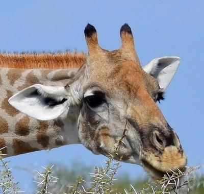 Giraffe eating thorns closeup