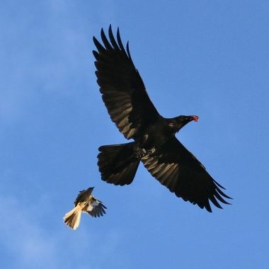 The crow stole a newly hatched.  The parent mocking bird can do very little but chasing after it.