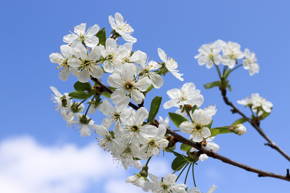 A low angle shot of white cherry blossom, on a sunny spring day.