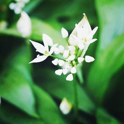 Macro Wild Garlic
