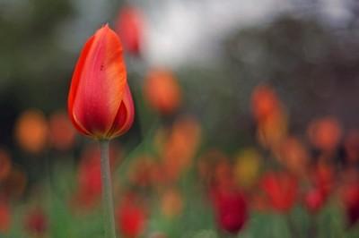 Tulips from Amst... er, Croydon