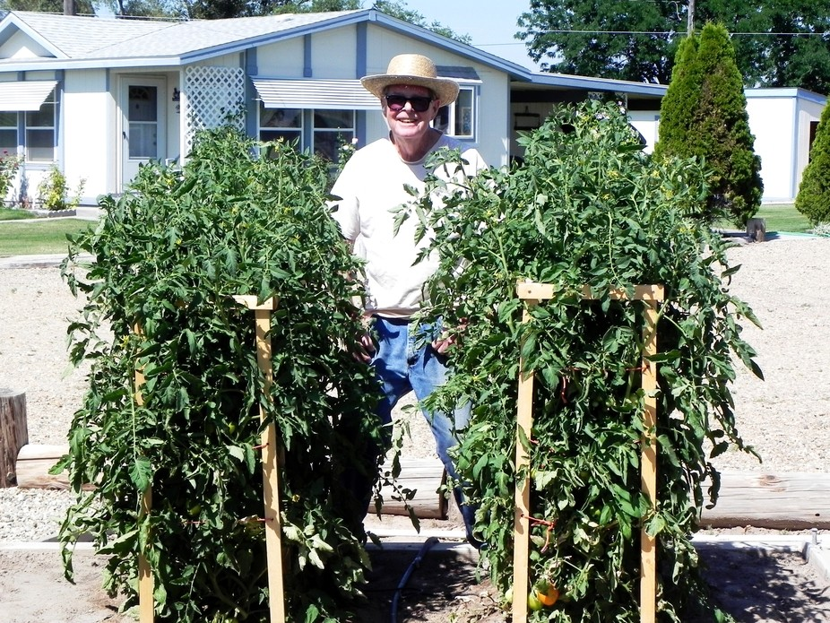 My Dad the last year he had a garden. Nice tomatoes.