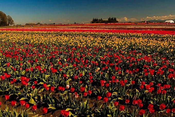 tulip fields (1 of 1)