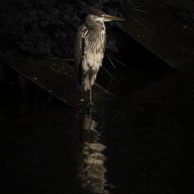 A heron in the local park