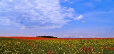 Poppy field-