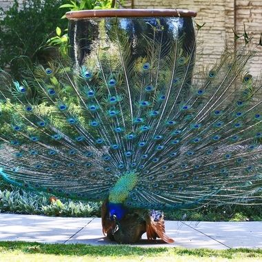 The male peacock was perched on the rim of this huge pot this morning (April 15, 2017).  The female was perched on the wall behind the pot.  He lowered his head in some gesture.  Then he hopped down below.  Soon the female followed.  As I was standing there anticipating, some bystanders came to the scene and was excited about the opening of the tail feather.  They wanted to take photos and selfies with their cell phones.  I was trying my best to convince them to stay where they are so they can witness something they have not seen before...  Thankfully, they listened to me and moments later, this happened.  People could not believe their eyes... and I am glad these people had a chance to experience that wonderful moment and I had a wonderful chance to record the whole sequence...