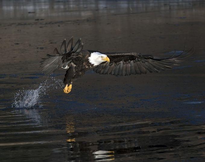 Bald Eagle 24 by SunBear22222 - Just Eagles Photo Contest